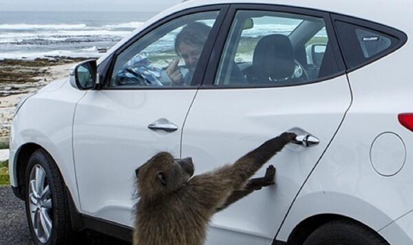 Flashback to the first and luckily only time a baboon broke into our car... #TIA #capetown